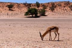 Springbok Antidorcas marsupialis in Kgalagadi Royalty Free Stock Images