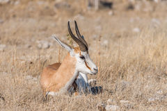 Springbok, Antidorcas marsupialis, laying between grass. A springbok, Antidorcas marsupialis, laying between grass in Northern Namibia Royalty Free Stock Photos