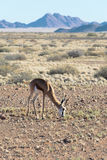 Springbok (Antidorcas marsupialis) in Namibia Royalty Free Stock Photography