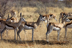 Springbok, Antidorcas marsupialis,  in the Namibian bush. The Springbok, Antidorcas marsupialis,  in the Namibian bush Stock Image