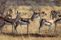 Springbok, Antidorcas marsupialis,  in the Namibian bush Stock Image