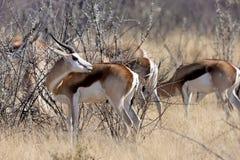 Springbok, Antidorcas marsupialis,  in the Namibian bush Royalty Free Stock Photos