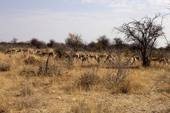 Springbok, Antidorcas marsupialis,  in the Namibian bush. The Springbok, Antidorcas marsupialis,  in the Namibian bush Stock Photos