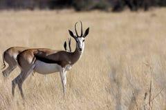 Springbok, Antidorcas marsupialis,  in the Namibian bush Royalty Free Stock Photo
