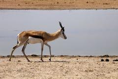 Springbok, Antidorcas marsupialis,  in the Namibian bush Royalty Free Stock Image