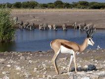 Springbok, Antidorcas marsupialis, near waterhole, Etosha National Park, Namibia. The Springbok, Antidorcas marsupialis, near waterhole, Etosha National Park Royalty Free Stock Images
