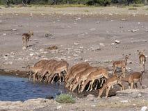 Springbok, Antidorcas marsupialis, near waterhole, Etosha National Park, Namibia. The Springbok, Antidorcas marsupialis, near waterhole, Etosha National Park Stock Photography