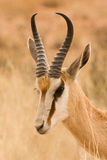 Springbok (Antidorcas marsupialis) portrait. A springbok male in the Kalahari desert, South Africa stock photo