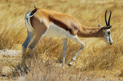 Springbok (Antidorcas marsupialis) in the savanna Stock Photos