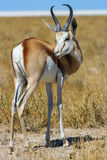 Springbok (Antidorcas marsupialis) in the savanna Stock Photography