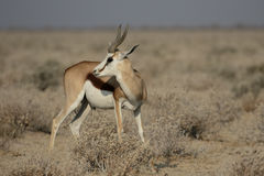 Springbok, Antidorcas marsupialis. Single mammal, Namibia, August 2016 Stock Image
