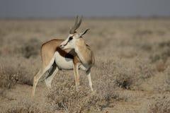 Springbok, Antidorcas marsupialis Stock Image