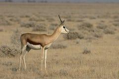 Springbok, Antidorcas marsupialis Royalty Free Stock Photos