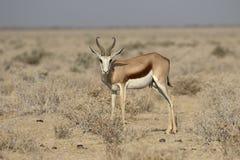 Springbok, Antidorcas marsupialis Stock Photos