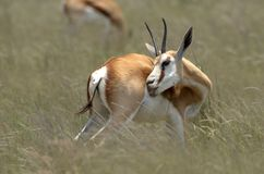 Springbok (Antidorcas marsupialis) Stock Photography