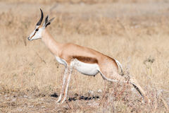 Springbok, Antidorcas marsupialis, urinating between grass Royalty Free Stock Images