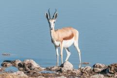 Springbok Antidorcas marsupialis in a waterhole Stock Images