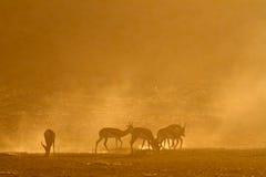 Springbok au lever de soleil Photos stock