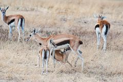 African female springbok with cubs, breastfeeding one cub, Tanzania, Africa Stock Image