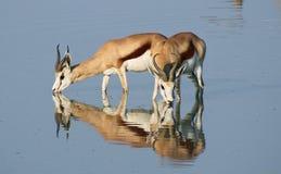 Springbok bij waterhole Stock Afbeelding