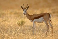 Springbok bij zonsopgang Royalty-vrije Stock Foto's