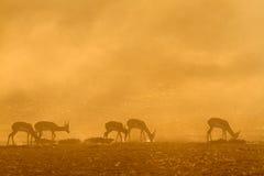 Springbok bij zonsopgang Stock Afbeeldingen