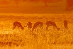 Springbok bij zonsopgang Royalty-vrije Stock Afbeeldingen