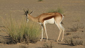 Springbok browsing Royalty Free Stock Photo