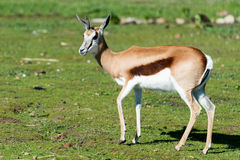 Springbok  buck. Springbok antelope (Antidorcas marsupialis) in natural habitat, South Africa Stock Photos