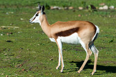 Springbok  buck. Springbok antelope (Antidorcas marsupialis) in natural habitat, South Africa Stock Images
