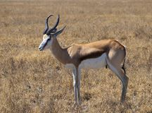 Springbok. In the Central Kalahari Game Reserve, Botswana Stock Image