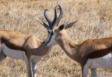 Springbok. In the Central Kalahari Game Reserve, Botswana Royalty Free Stock Image