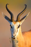 Springbok chewing on a small wild flower Royalty Free Stock Images