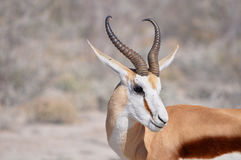 Springbok. Close up of a Springbok in Etosha national park in Namibia Africa Royalty Free Stock Image