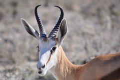 Springbok. Close up of a Springbok in Etosha national park in Namibia Africa Stock Image