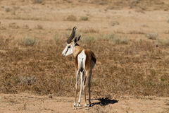 Springbok Royalty Free Stock Images