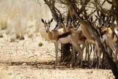 Springbok couple Stock Photos
