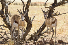 Springbok couple Stock Image