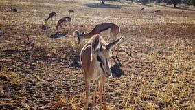 Springbok curieux approchant l'appareil-photo images libres de droits