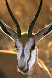 Springbok - Damaraland - Namibia Royalty Free Stock Photos
