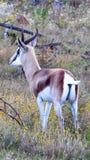 Springbok dans les fynbos en Afrique image libre de droits