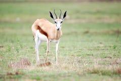Springbok deer Royalty Free Stock Images