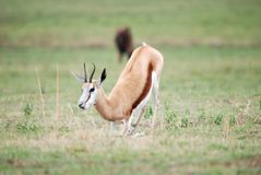 Springbok deer Royalty Free Stock Image