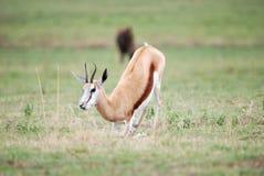 Springbok deer. A Springbok deer resting in the Savannah Royalty Free Stock Image