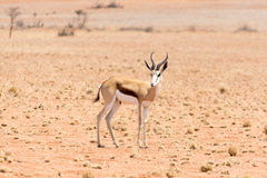 Springbok in the desert. Seen and shot on selfdrive safari tour through natioal parks in namibia, africa stock image