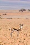 Springbok in the desert. Seen and shot on selfdrive safari tour through natioal parks in namibia, africa stock photo
