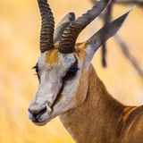 Springbok - detailed view. Detailed view of springbok antelope in sunny day Stock Image
