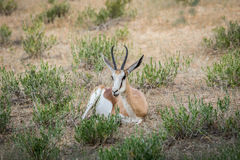 Springbok die in het gras leggen royalty-vrije stock afbeelding