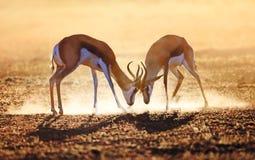 Springbok double en poussière Images libres de droits