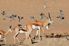 Springbok and doves Stock Photo